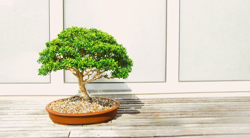Active Bonsai Clubs in the UK to Join